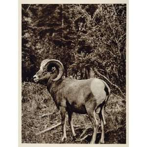 Rocky Mountain Bighorn Sheep Ram Canada Photogravure