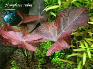 Red Rubra   Live Plant for Glass Aquarium Fish Tank
