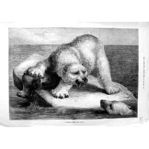 1881 BECKMANN FINE ART POLAR BEAR SEA LION FIGHT: Home & Kitchen