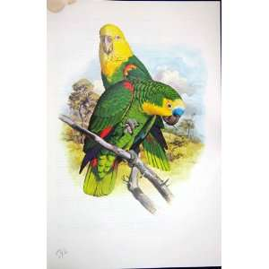 World Parrots 1973 Blue Fronted  Yellow Headed:  Home
