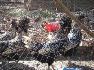 Polish Chicken Hatching Eggs 6+ Silver Laced Standard Bearded Polish