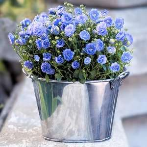 Potted Purple Campanula Plants & Artificial Flowers